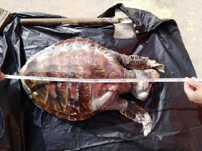 海洋廢棄物增多 加速珍貴海龜族群滅絕